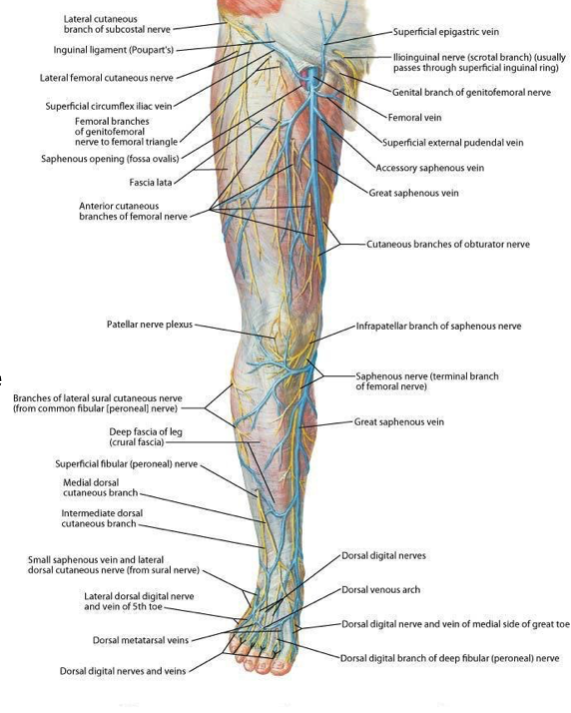 Blood supply of the lower limb (Anatomy) Flashcards | Memorang
