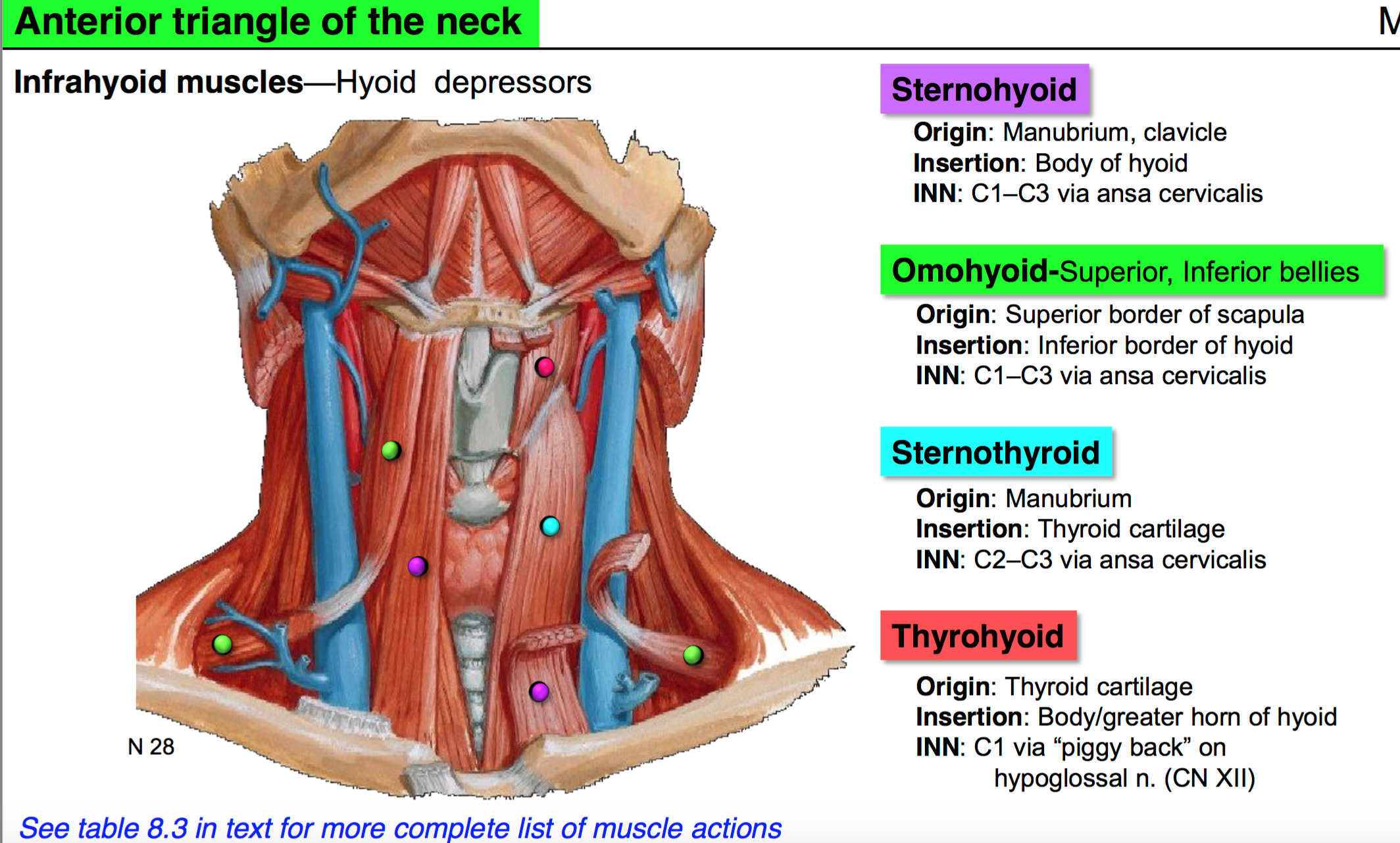 08. Anatomy G53 Neck I (Terms from Anatomy G53 Neck I LordFred ...
