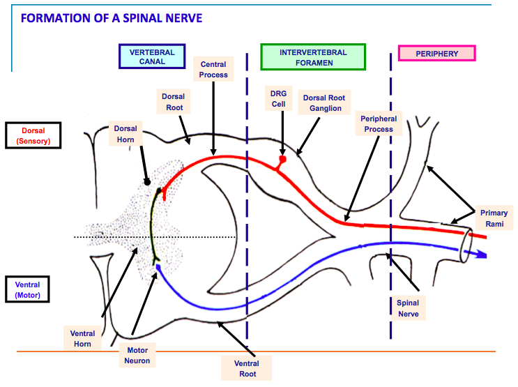 3-22, PNS, FUNCTIONAL COMPONENTS OF SPINAL & CNs (bishop) (Neuro ...