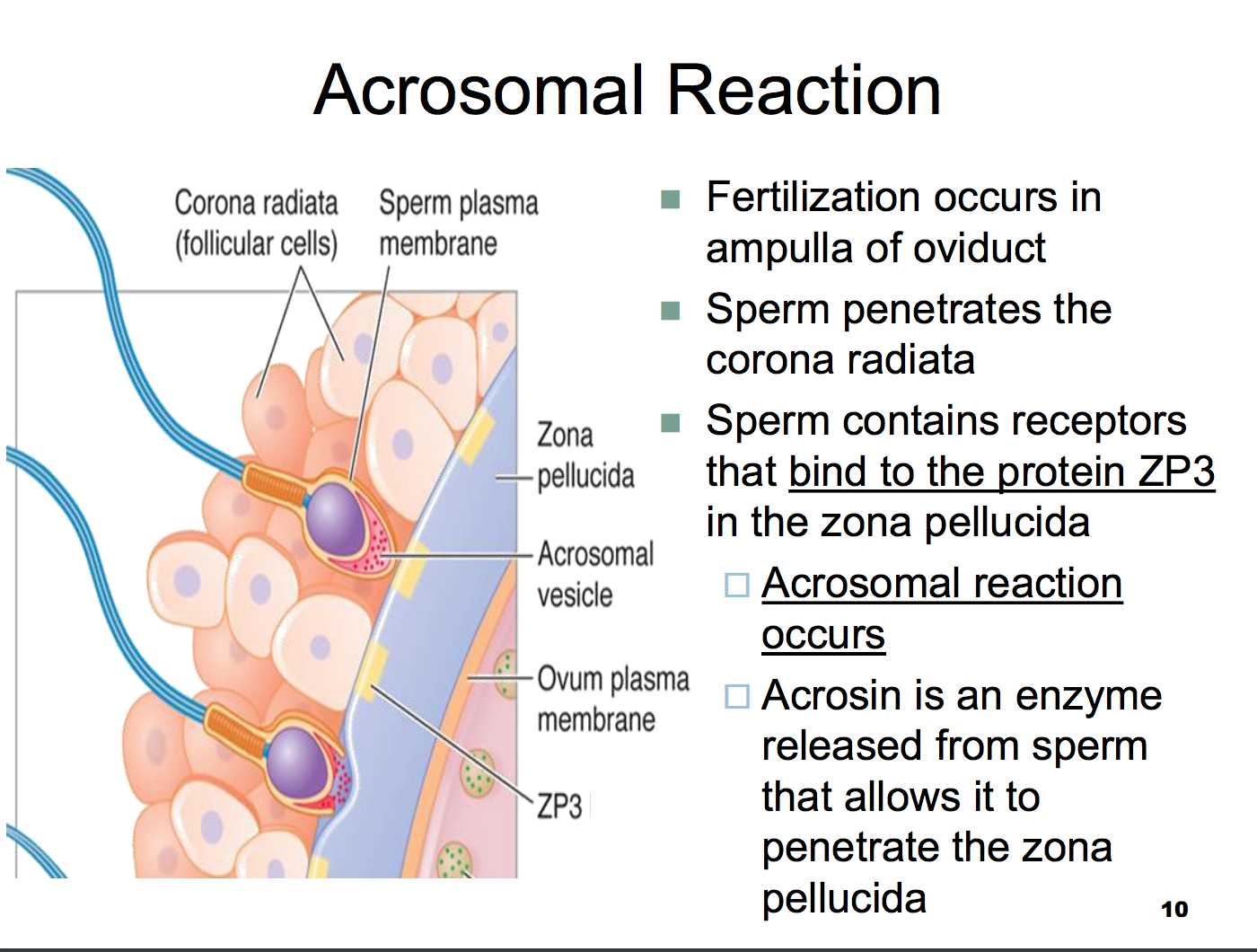 Physiology L46 Fert Preg Parturition And Lactation Fertilization