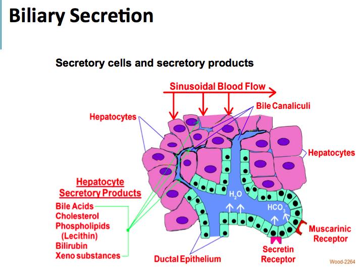 8 11 Physio Of Pancreatic Biliary Secretion Wood Gi Flashcards