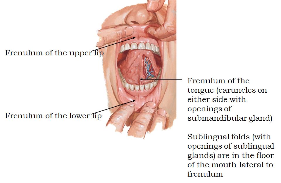 1.05 - Face + Oral Cavity + Nose + Paranasal Sinus + Pharynx (Neuro ...
