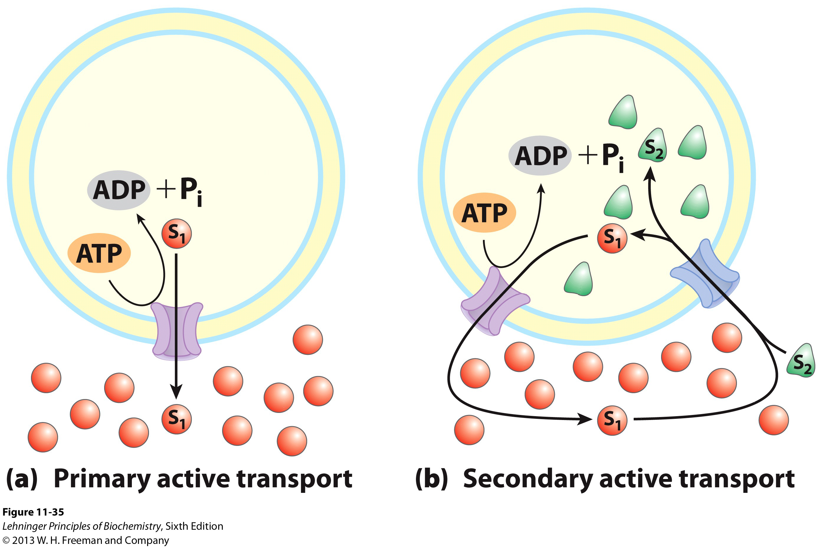 Chapter 11 biological membranes and transport biochemistry two types of active transport pooptronica