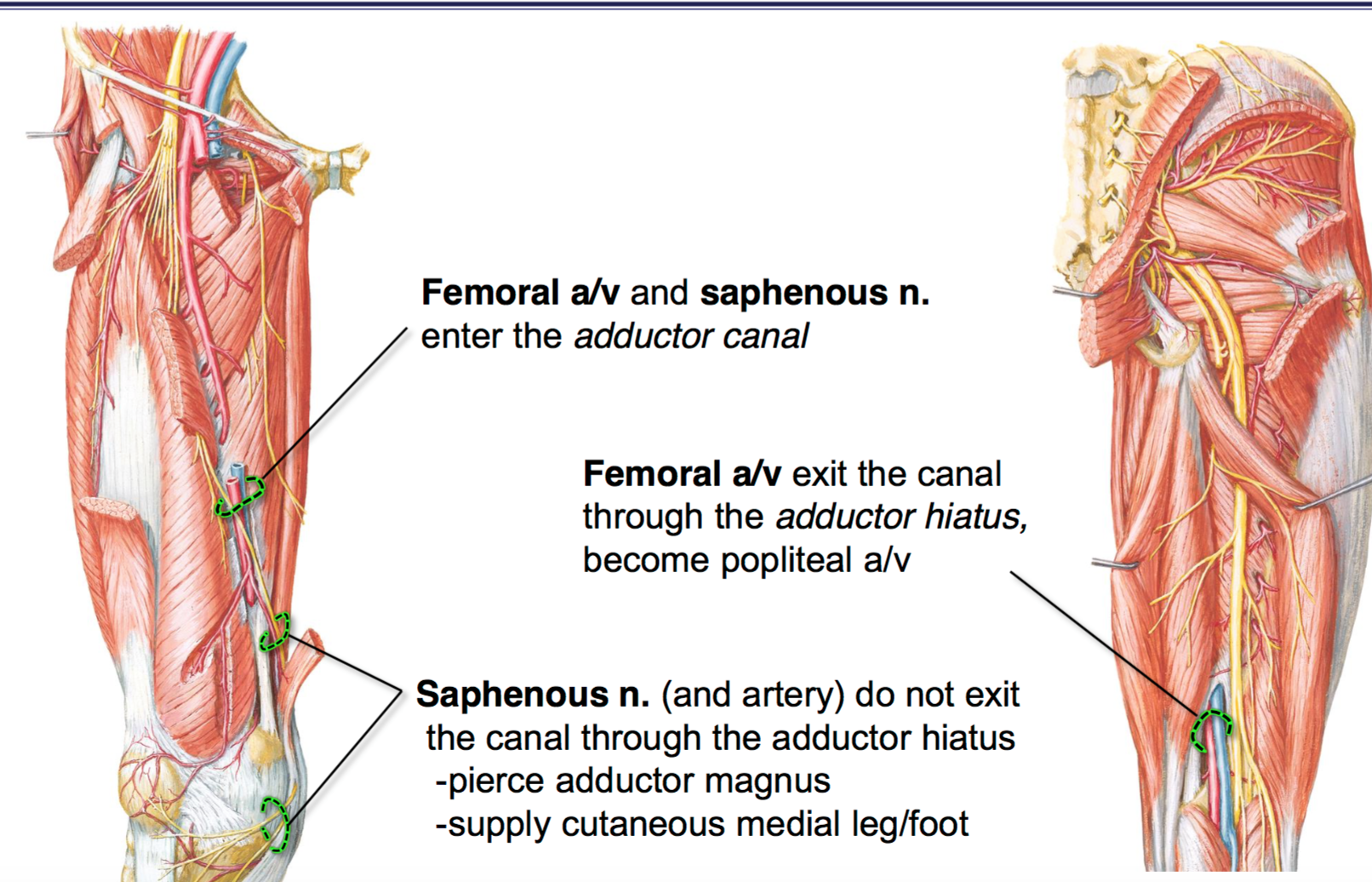 Fg Anatomy G44 Anterior And Medial Thigh Part 2 Anatomy Unit 6
