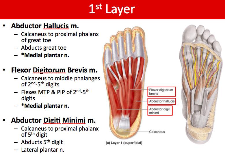 11-6 Foot Anatomy (Boucher) Flashcards | Memorang