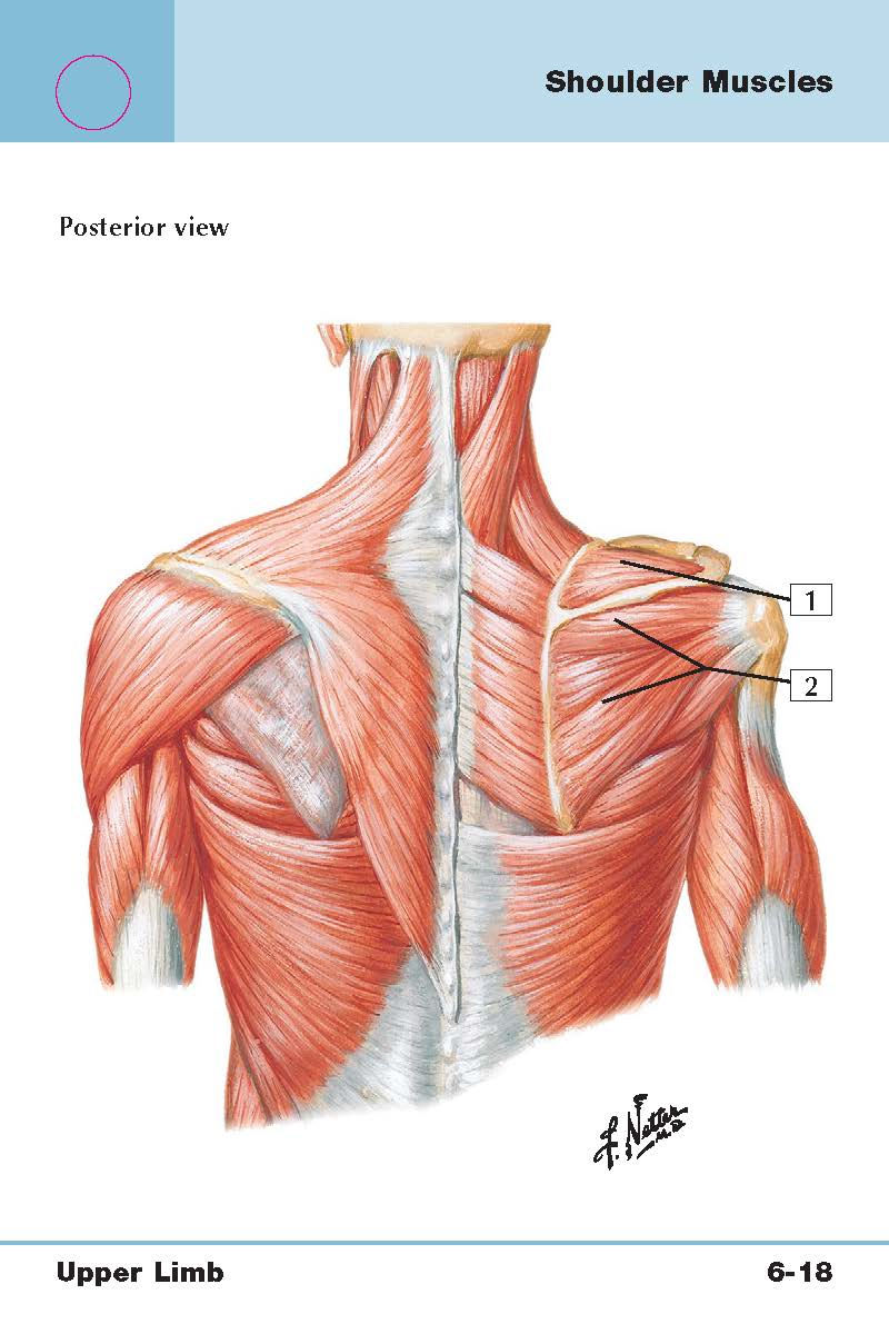 Back/Chest/Neck/Shoulder (Roughly upper trunk muscles) Flashcards ...