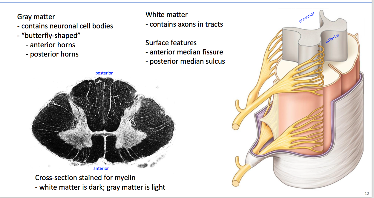 Anatomy GS6 Neuro Overview (Terms from anatomy chapter 6) Flashcards ...