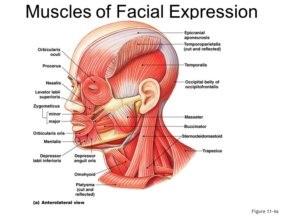 extension of frontalis between anterior superior auricular muscles superficial to temporalis fascia