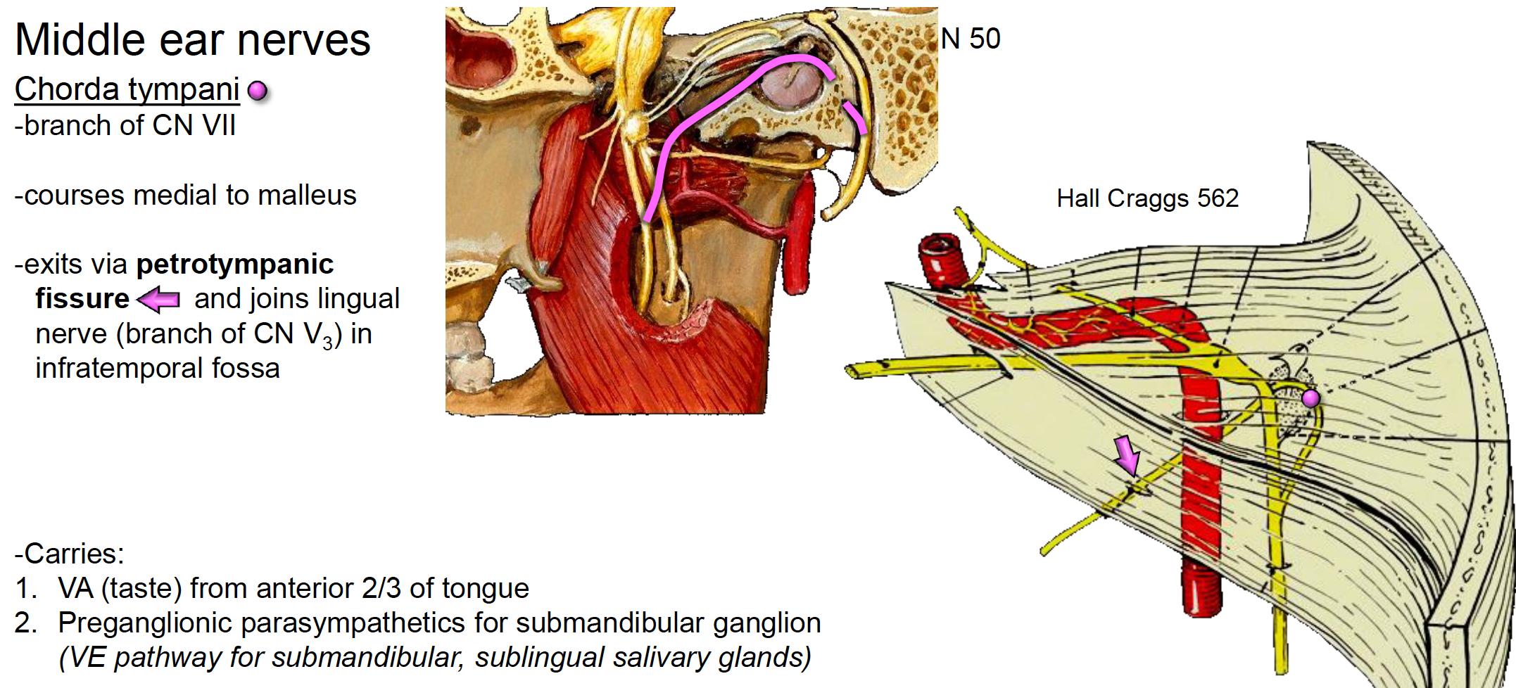 Wunderbar Lingual Nerven Anatomie Bilder - Anatomie Von Menschlichen ...