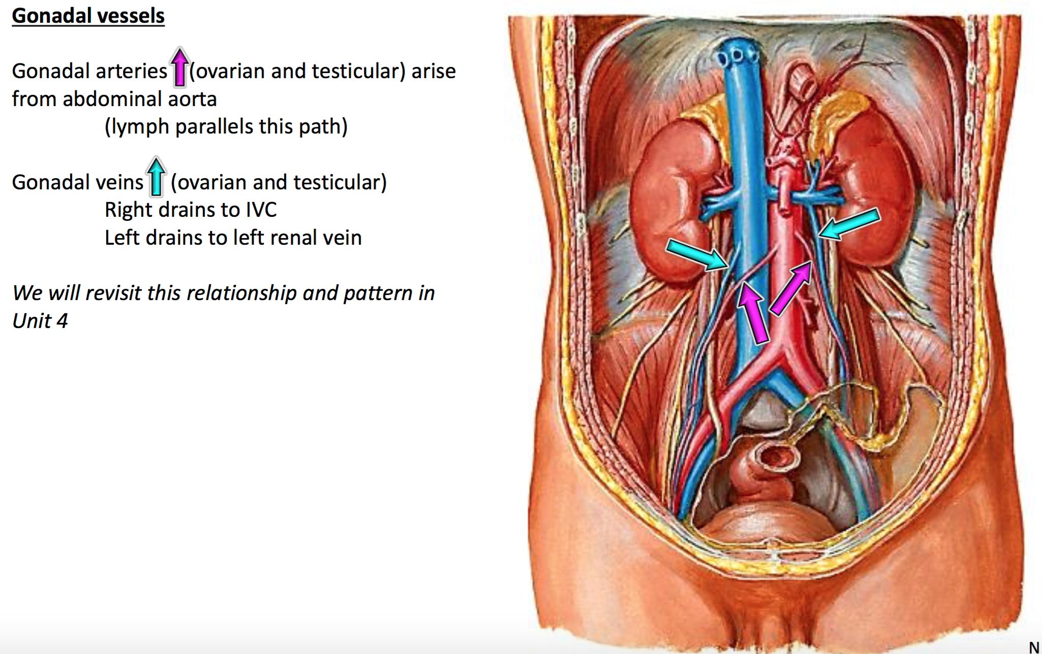 Gonadal Vein Anatomy | www.topsimages.com