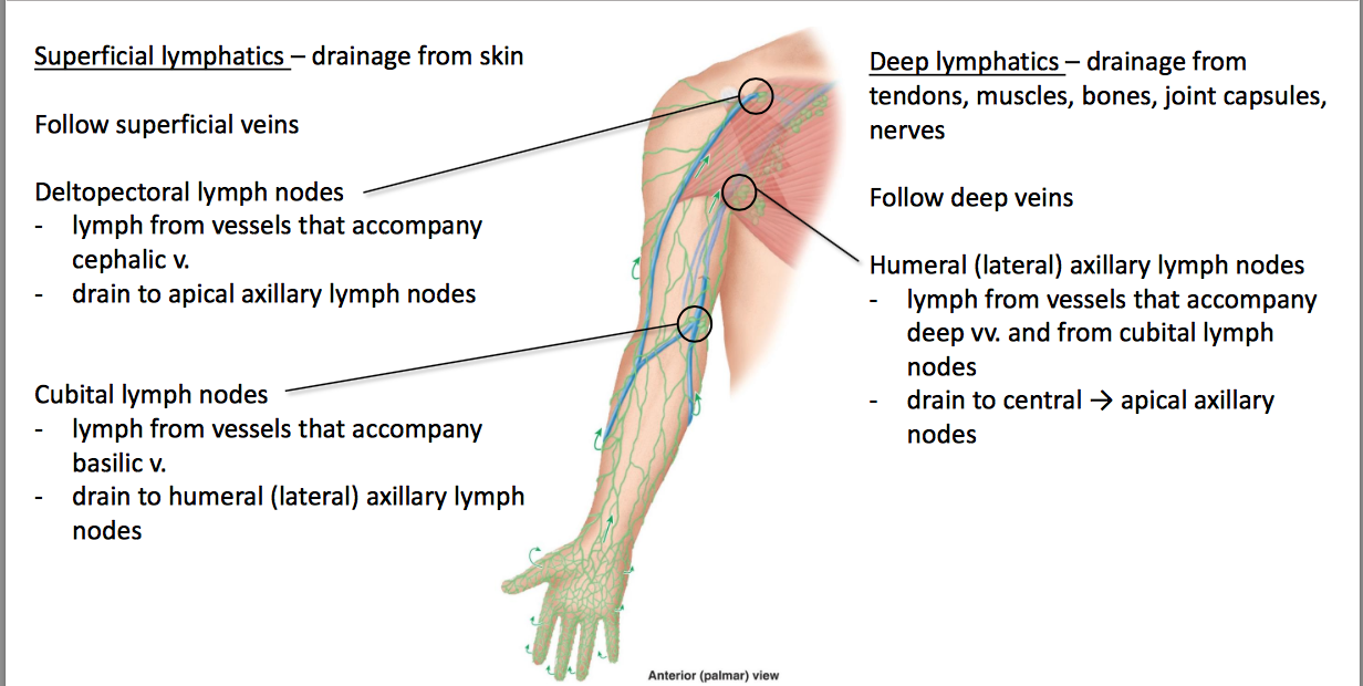 Cubital Lymph Nodes Location Diagram Diy Wiring Diagrams