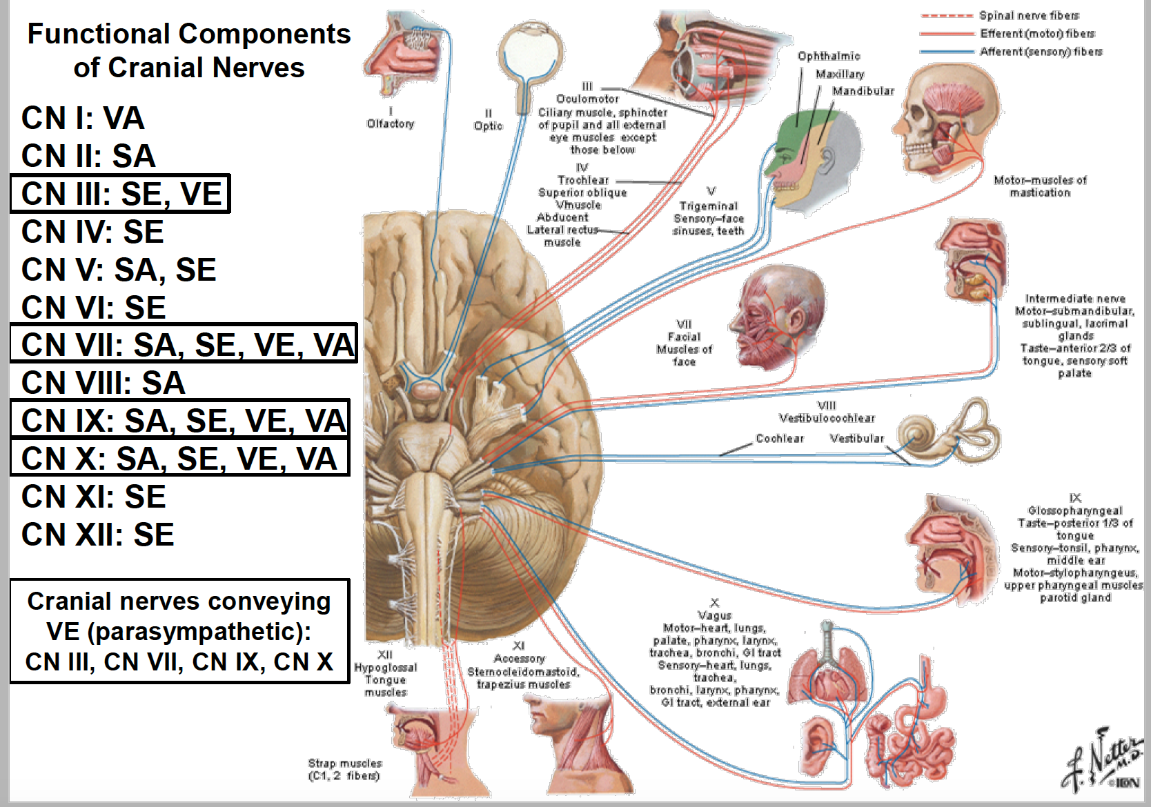 Anatomy G68 ANS of the Head (Anatomy Unit 8) Flashcards | Memorang