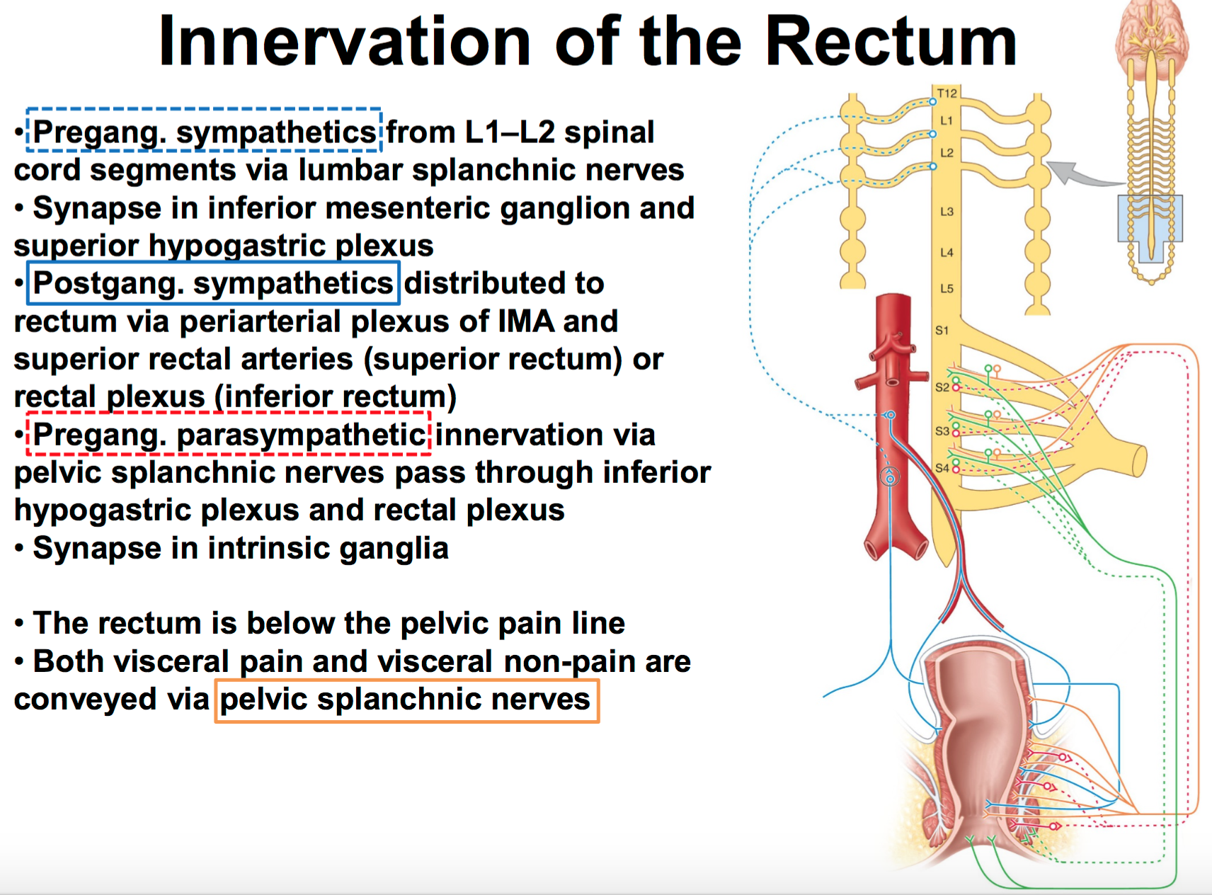 Gs G41 Visceral Innervation Of The Pelvis Perineum Anatomy Unit 5