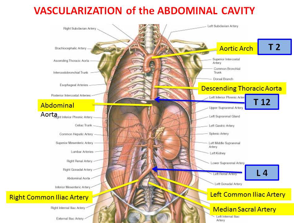 Lecture 4 Abdominal Vasculature (Gross Anatomy Unit 7) Flashcards ...
