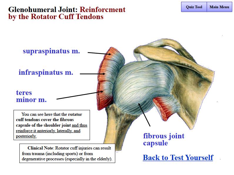 B4W2 Anatamy (Shoulder) Flashcards | Memorang