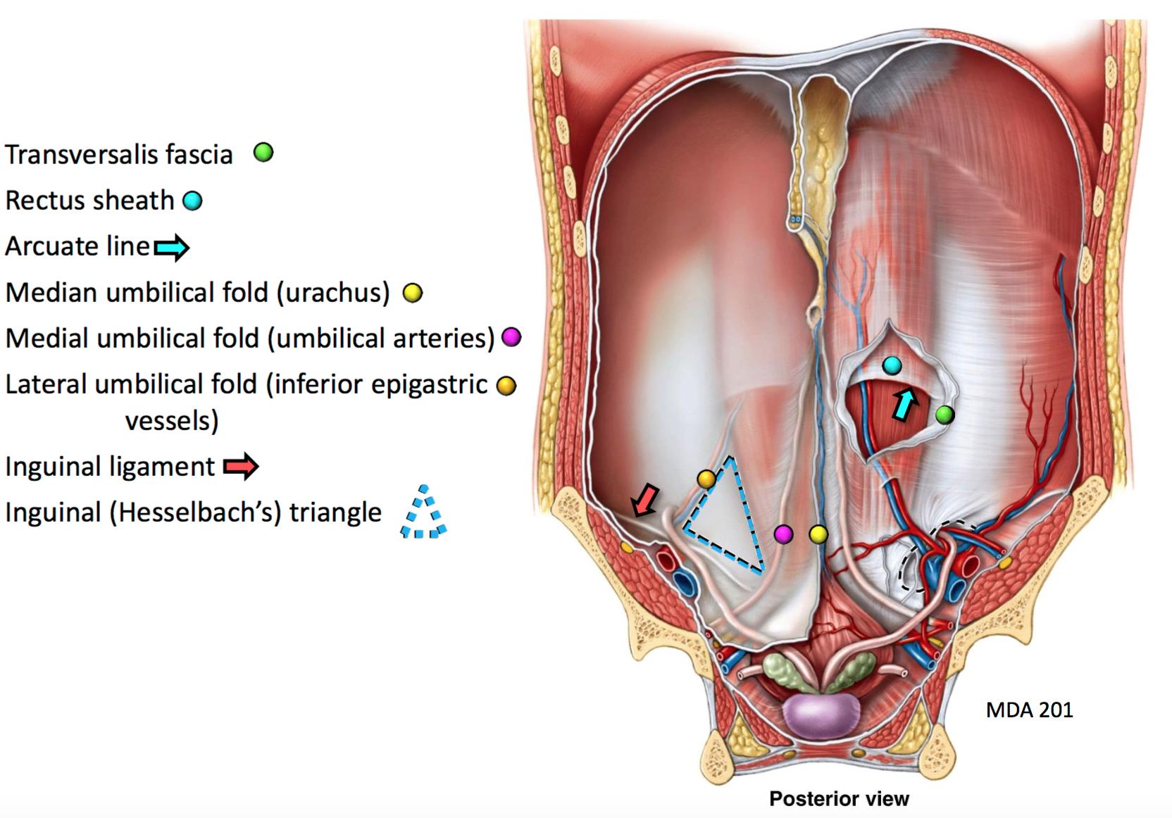 GSAnatomy G27 Inguinal Region I (Anatomy Unit 4) Flashcards | Memorang
