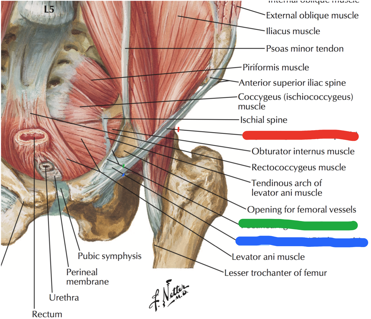 Dorable Levator Ani Muscle Anatomy Ensign - Anatomy and Physiology ...