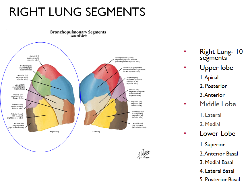 Lung Segments Images - human anatomy organs diagram