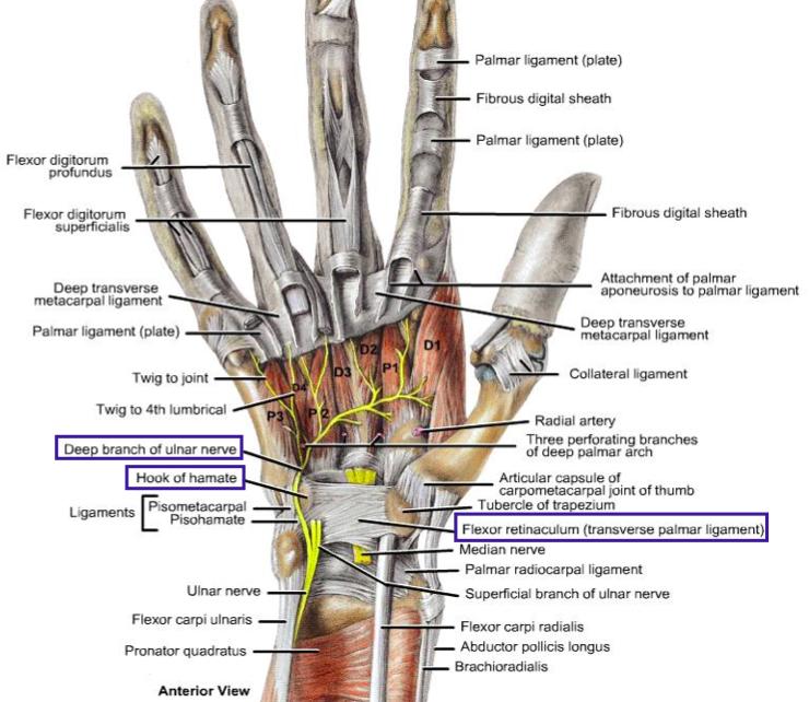 Anatomy Of The Hand L22 Flashcards Memorang