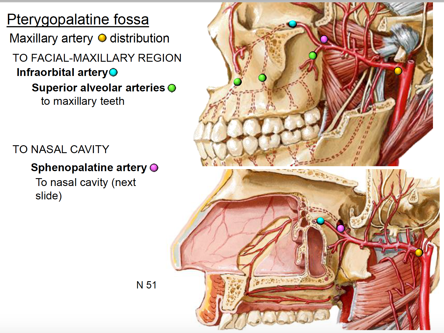 Anatomy G63 Pterygopalatine fossa (Anatomy Unit 8) Flashcards | Memorang