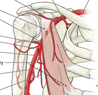 Costoclavicular space boundaries in dating