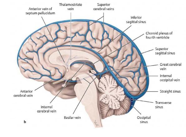 N 3NEA2 Blood Supply of the CNS (Neuro Anatomy) Flashcards | Memorang