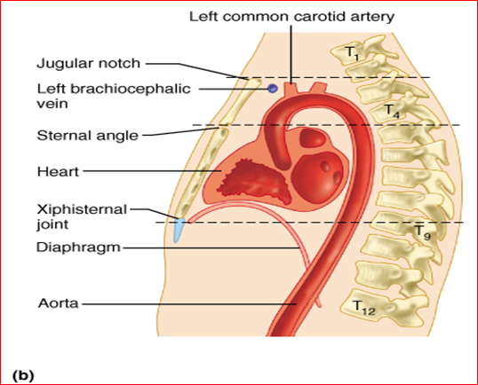 014A - Thorax Cage, Thoracic Wall, and Breast (Anatomy) Flashcards ...