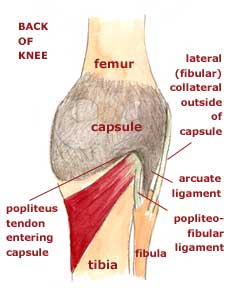 012b knee joint anatomy flashcards memorang superiorly attaches to femoral condyles it encloses the condyles and the intercondylar fossa inferiorly ccuart Choice Image