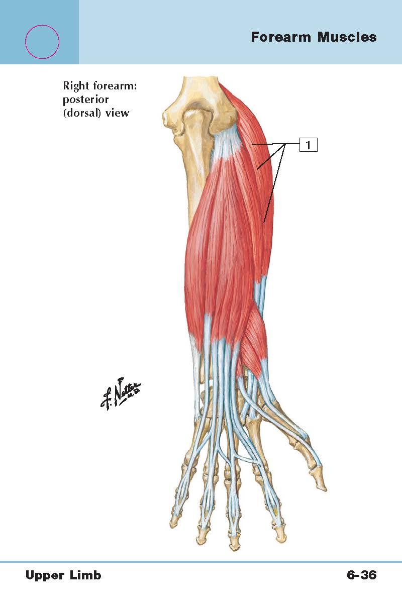 Arm/Forearm/Hand (Upper limb muscles) Flashcards | Memorang