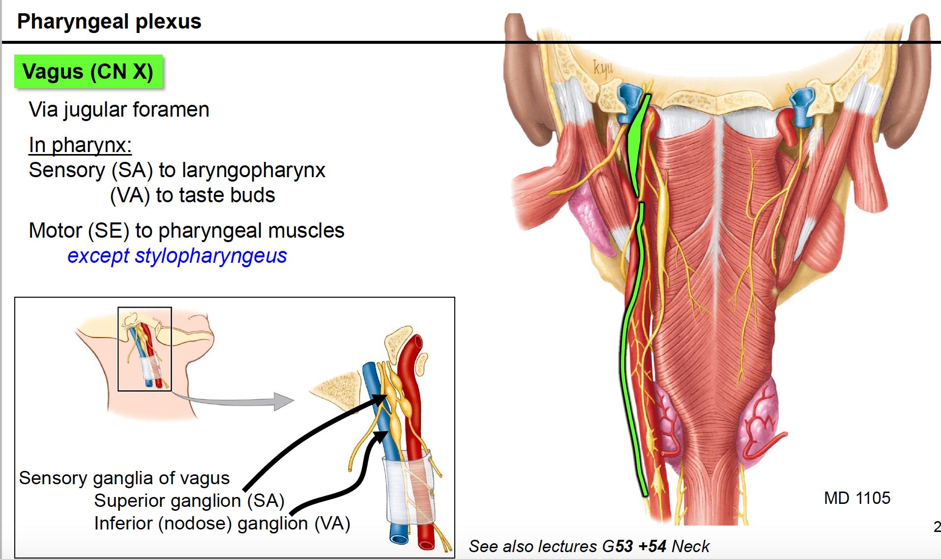 Anatomy G62 Pharynx and Palate (Anatomy Unit 8) Flashcards | Memorang