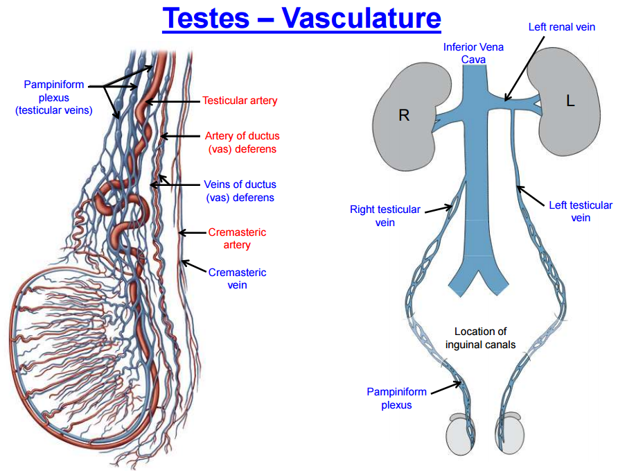 Inguinal Region Testes And Scrotum Gross Anatomy Flashcards