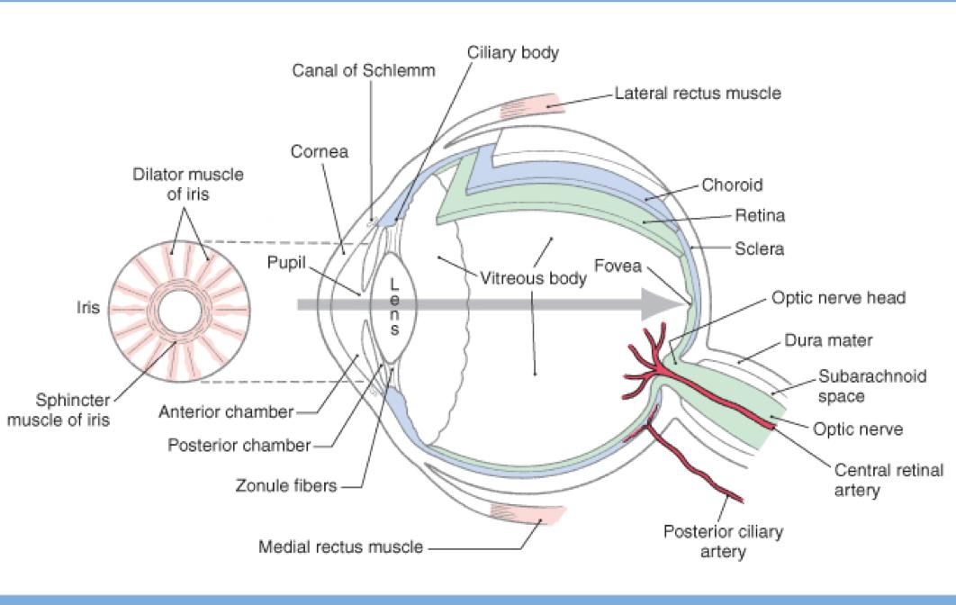 Neuroanatomy The Visual Pathway Neuroanatomy Week 1 Monday