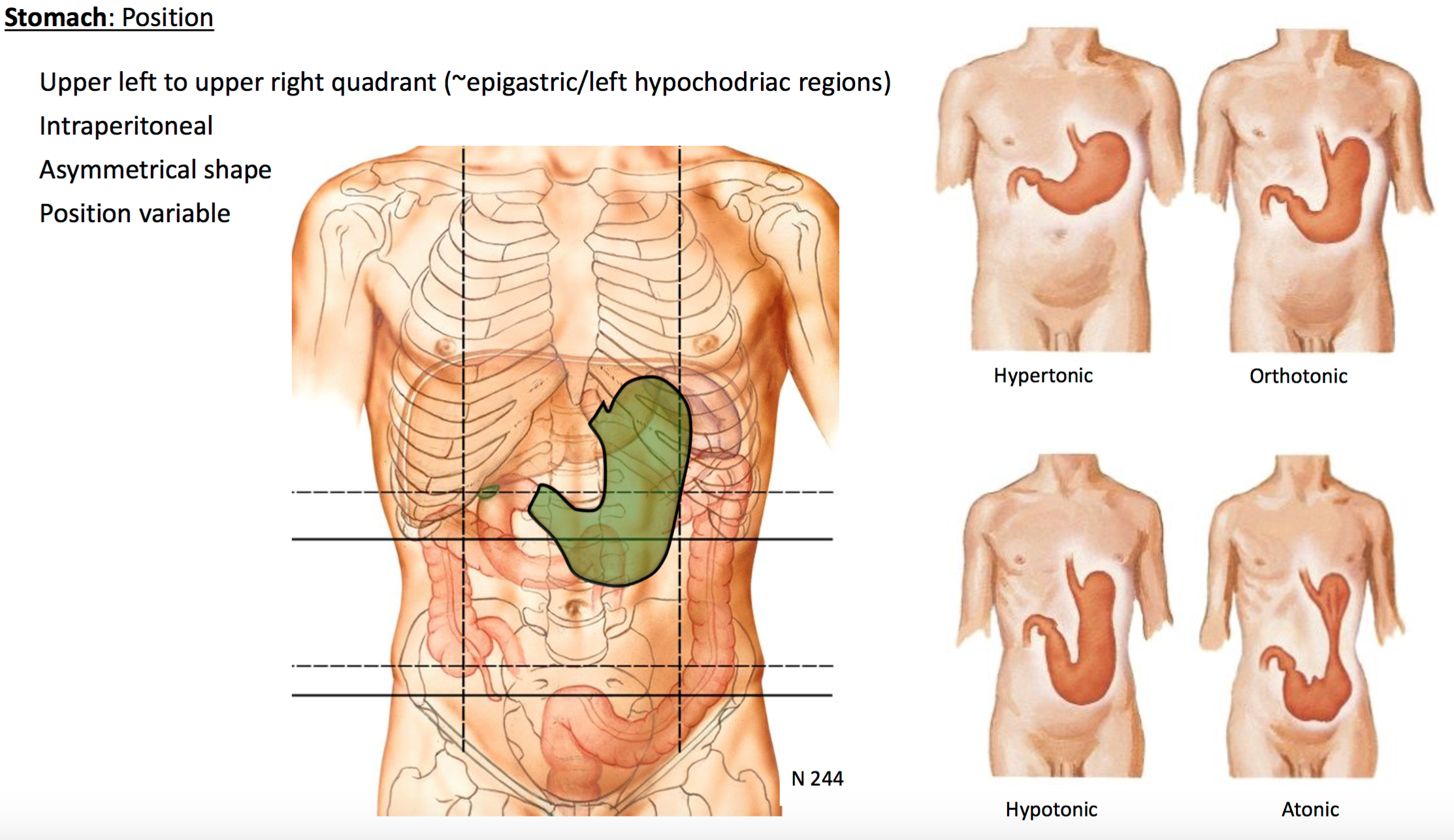Gsanatomy g29 foregut i anatomy unit 4 flashcards memorang since the stomach is position variable it can be seen in different positions such as ccuart Choice Image