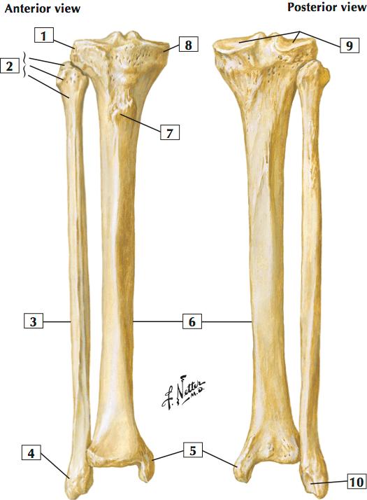 tibia and fibular (sample) (netter's anatomy: lower limb (bones and  joints)) flashcards | memorang