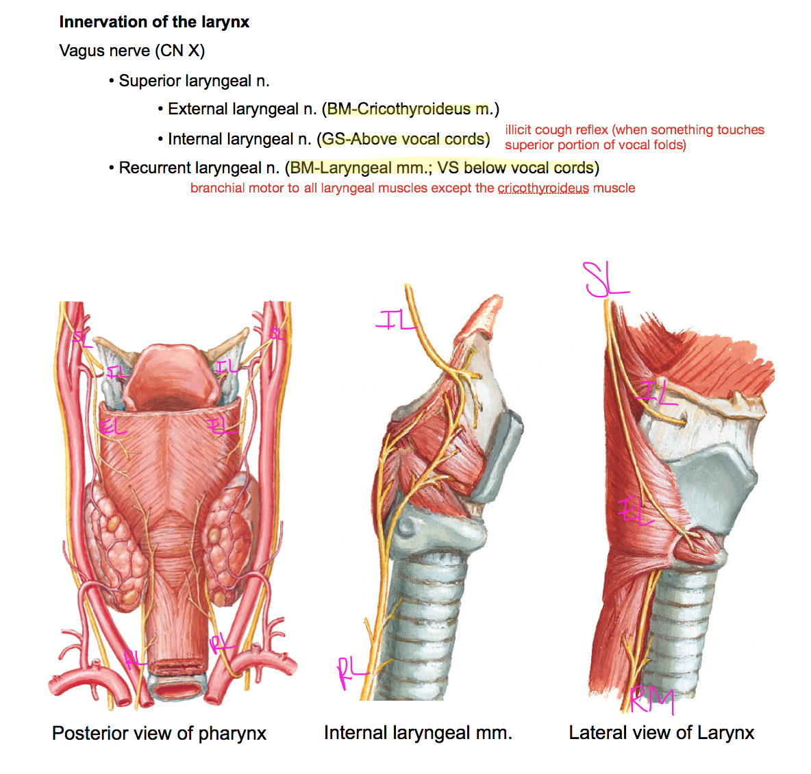 Week 13 - Pharynx & Larnyx (Anatomy) (Phase 1) Flashcards | Memorang