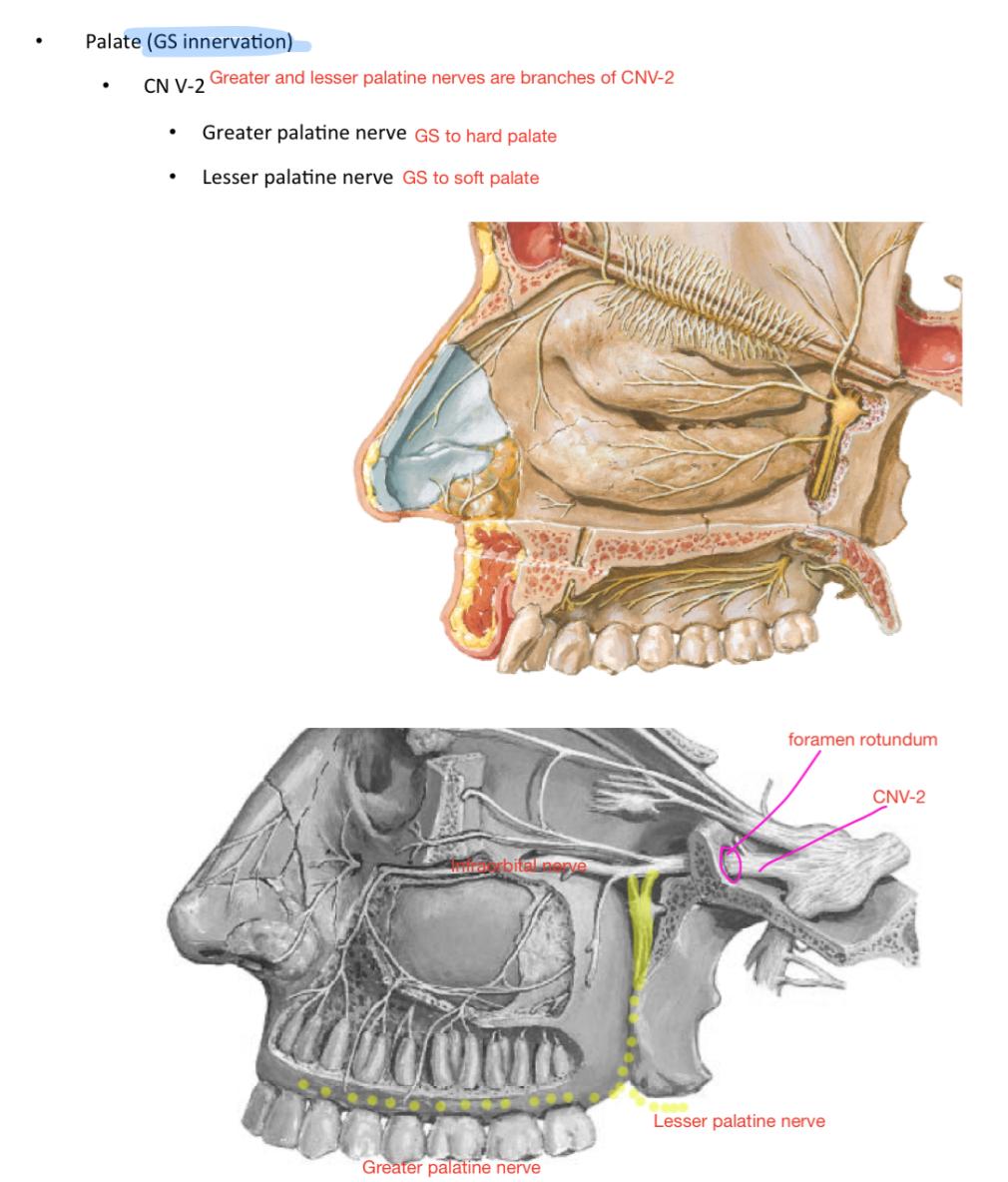 Week 13 - Oral & Nasal Cavity (Anatomy) (Phase 1) Flashcards | Memorang