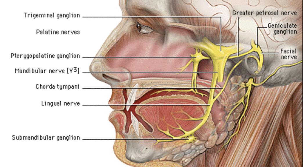 Gross Anatomy (Neuro) Flashcards | Memorang