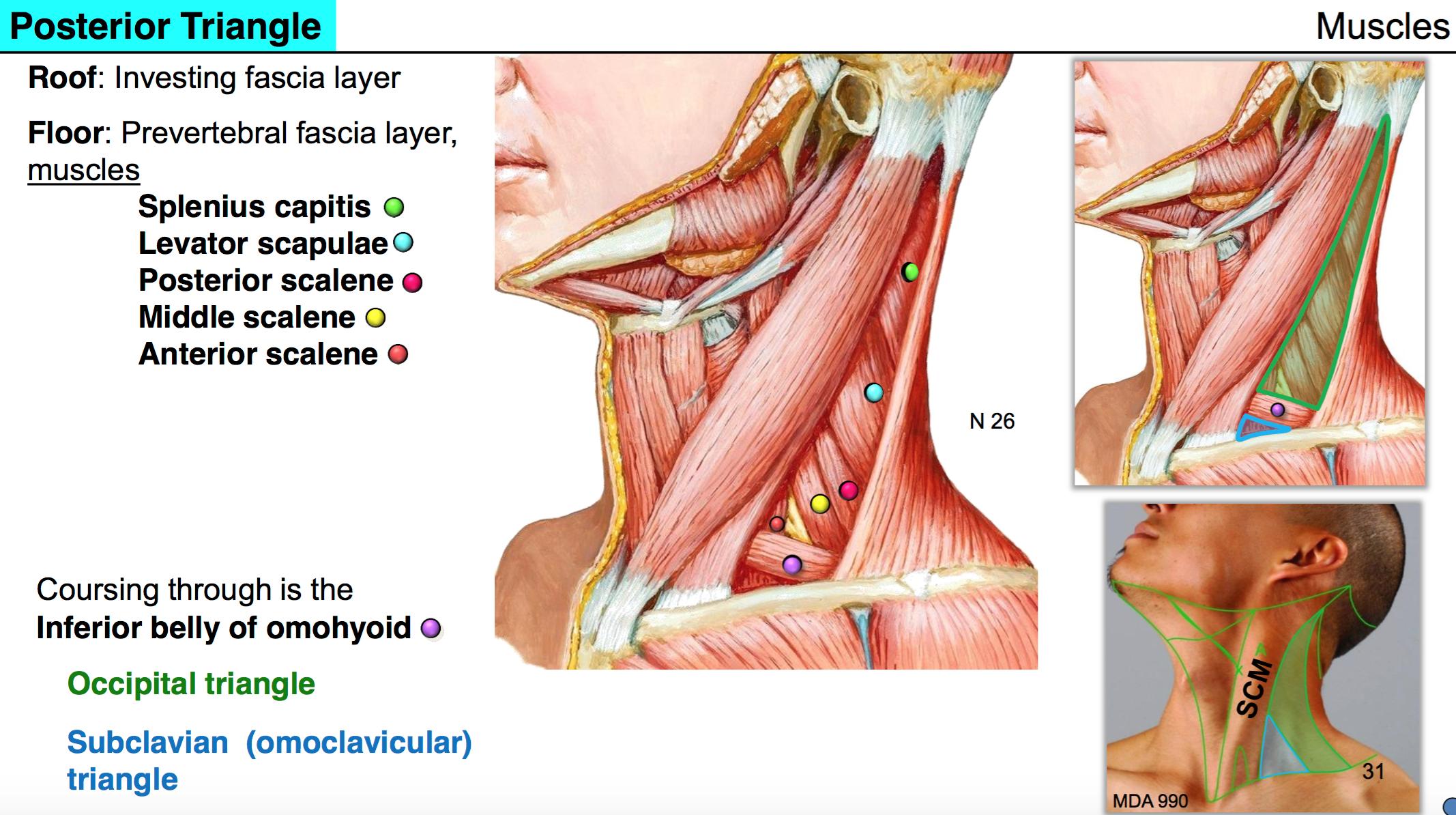 Anatomy G53 Neck I Anatomy Unit 7 Flashcards Memorang