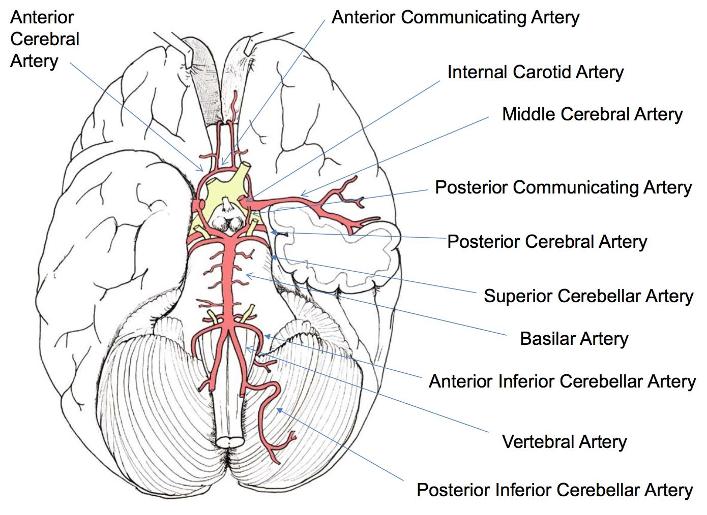 N33: Blood Supply of the CNS (Neurology) Flashcards | Memorang