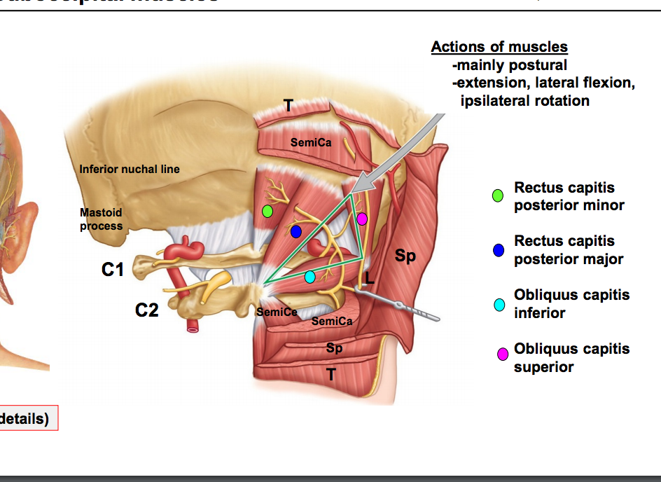 Anatomy GS4 Unit 4 Back (Terms from Anatomy unit 4) Flashcards ...