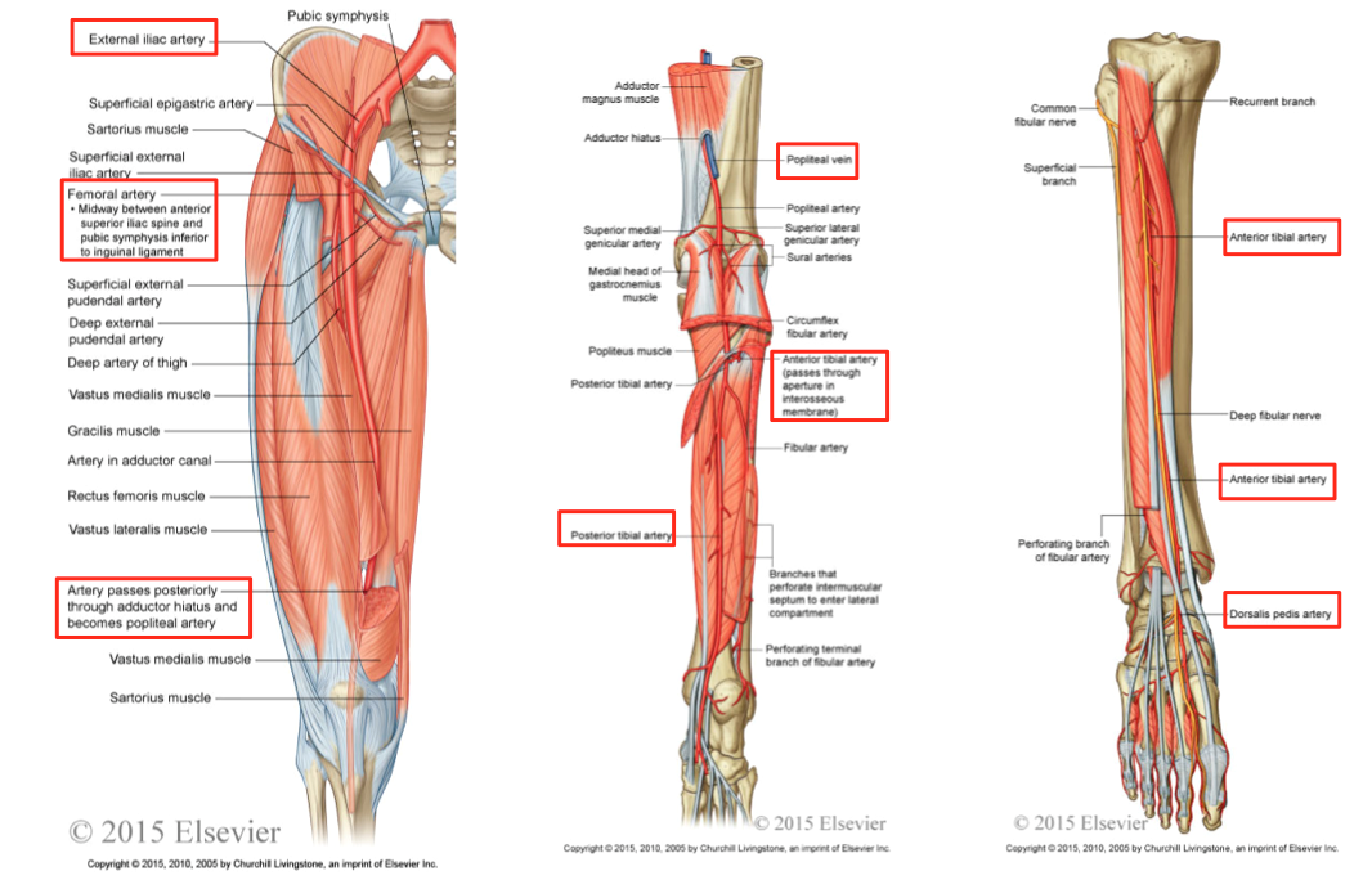 Anatomy: Skin & Subcutaneous Tissue II (Foundation 1 Wk 3 ...