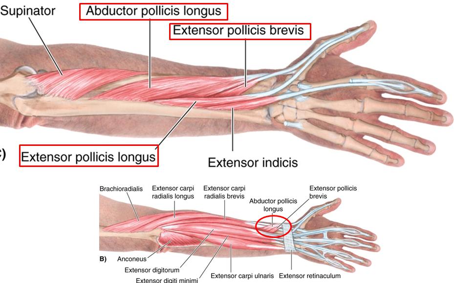 2.06 - anterior & posterior forearm + elbow joint (anatomy, Sphenoid