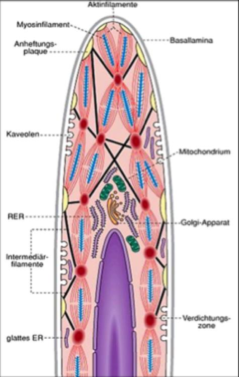 Muskelgewebe Teil 1 (Vorlesung Histologie 6) Flashcards | Memorang