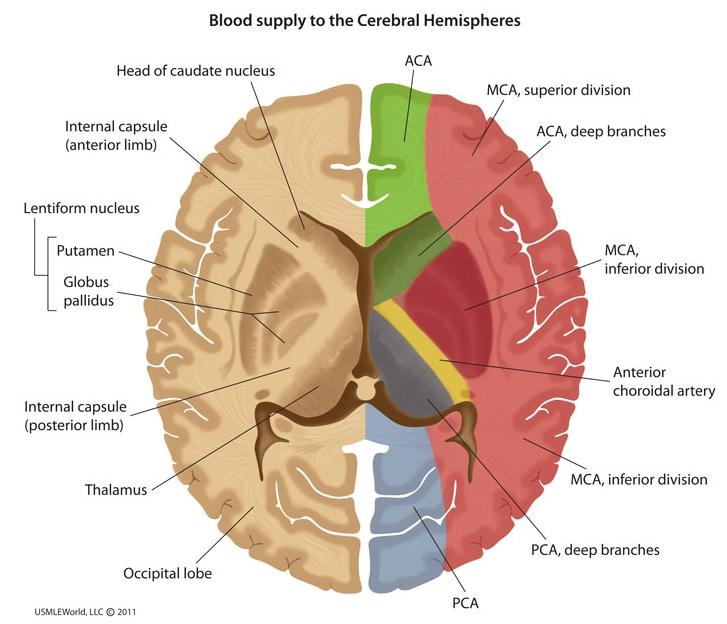 Uw Neuro 3 Anatomy Flashcards Memorang
