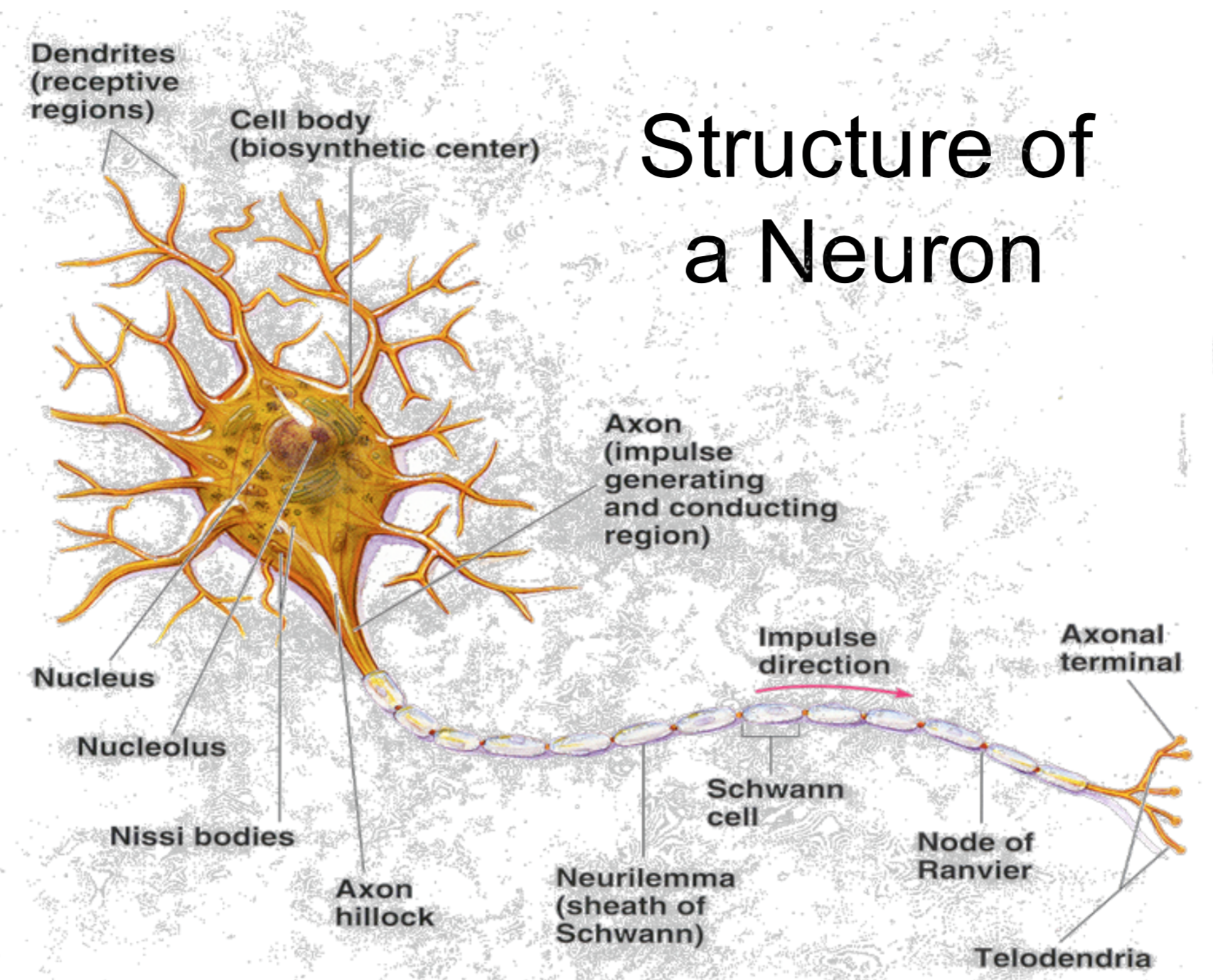 Ccf physiology l6 8 graded and action potentials physiology unit structure of a neuron diagram pooptronica Choice Image