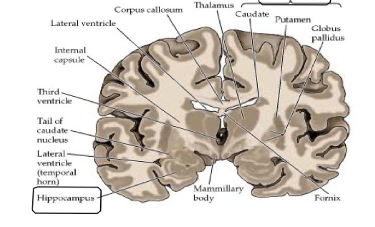 Neuroanatomy Neuro Flashcards Memorang