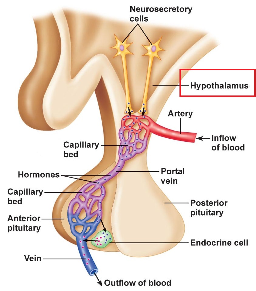 hypothalamus pituitary relationship for both anterior and posterior