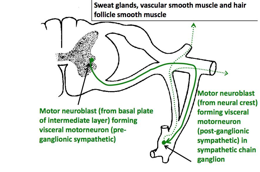 Spinal Nerves Somatic Plexuses Msk Dla Flashcards Memorang