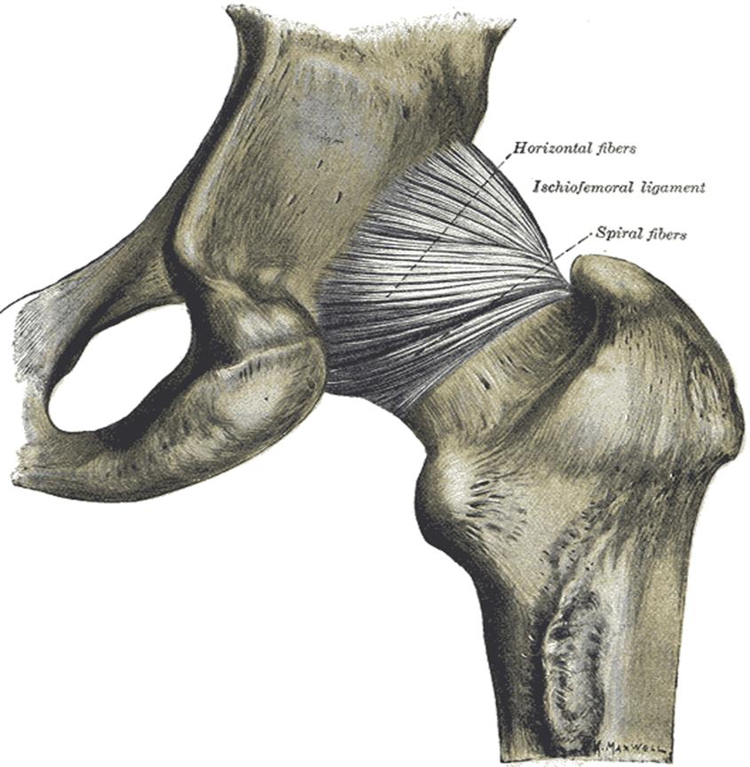 012 - Hip, Knee, and Ankle (Anatomy) Flashcards | Memorang
