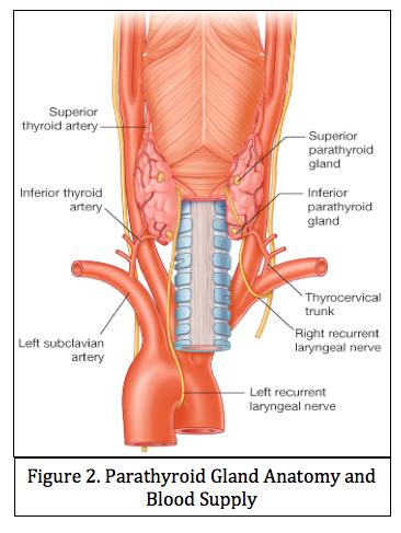 9-29 Thyroid & Parathyroid Anatomy (McHugh Endo) Flashcards | Memorang